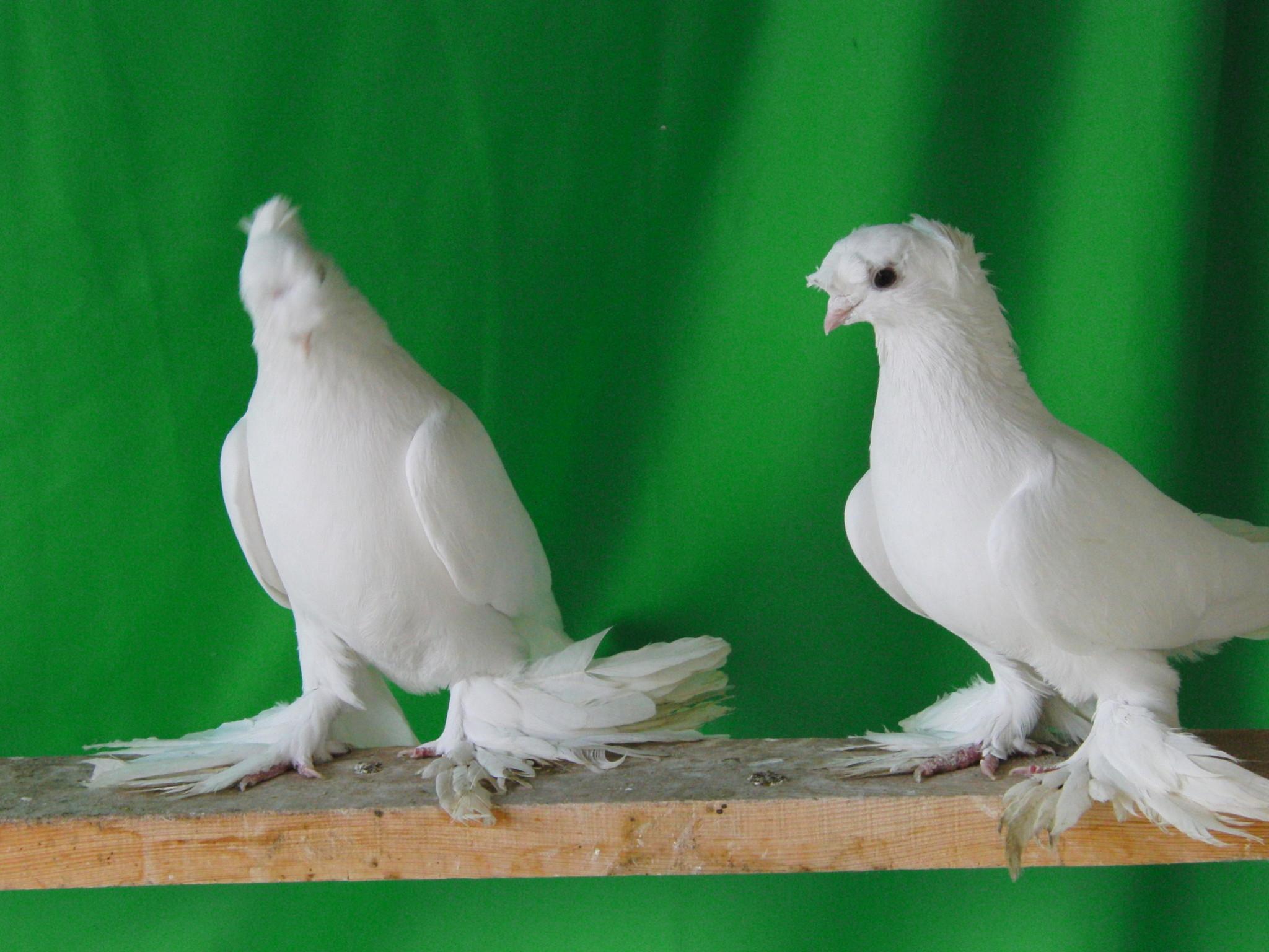 которые порода белых голубей фото и названия водитель