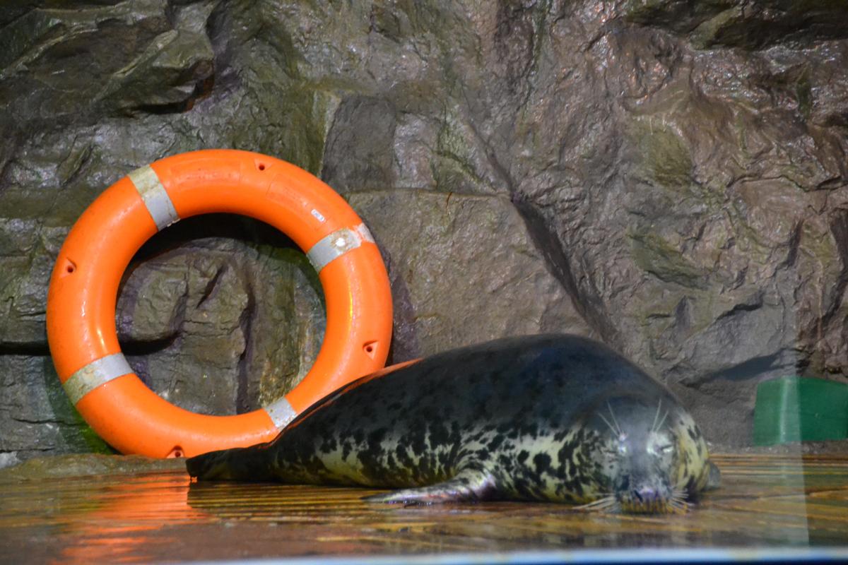 14. Серый тюлень